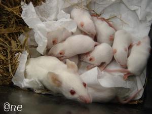Micebabies_1